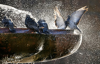Pigeons bathe in a fountain in central Kiev, Ukraine, September 19