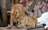 Asiatic lionesses are seen in their enclosure at Moscow Zoo