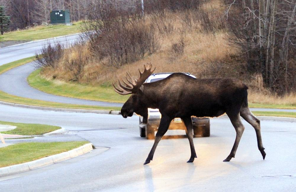 An elk crosses the road