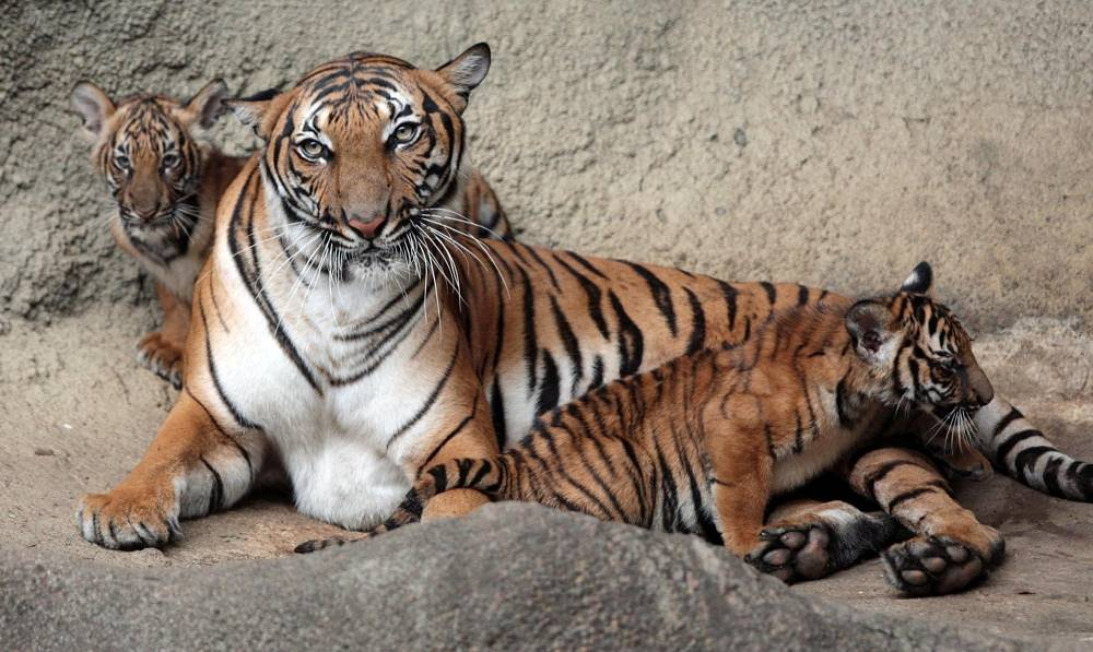Until 2004, the Malayan tiger wasn't considered a subspecies. Genetic analysis showed that they are distinct  from the Indochinese subspecies. There are approximately 650 specimen left