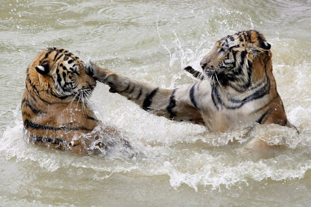 Tiger huntig is forbidden all over the world