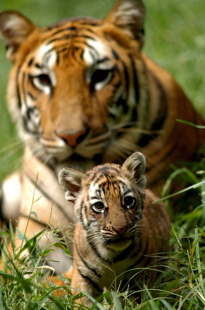 The Bengal tiger lives in India, Nepal, Bhutan, and Bangladesh, and is the most common subspecies