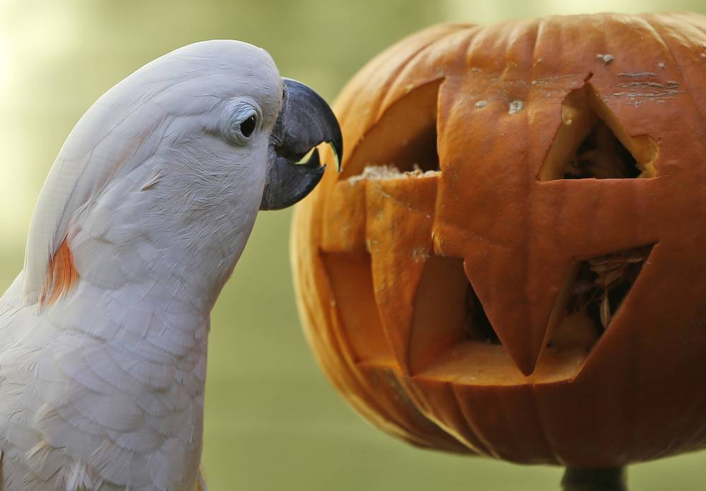 Photo: Moluccan cockatoo Zeppy looks for treats inside a pumpkin at the Oklahoma City Zoo in Oklahoma City, October 17, 2014
