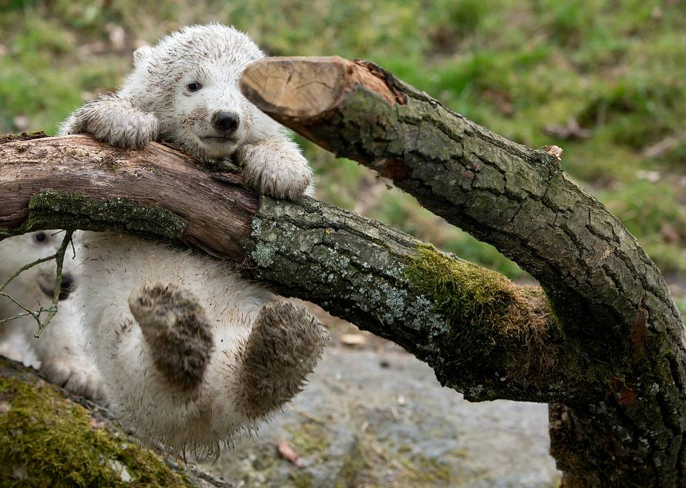 Photo: Two 14-week old polar bear twins at the Hellabrunn Zoo in Munich, Germany