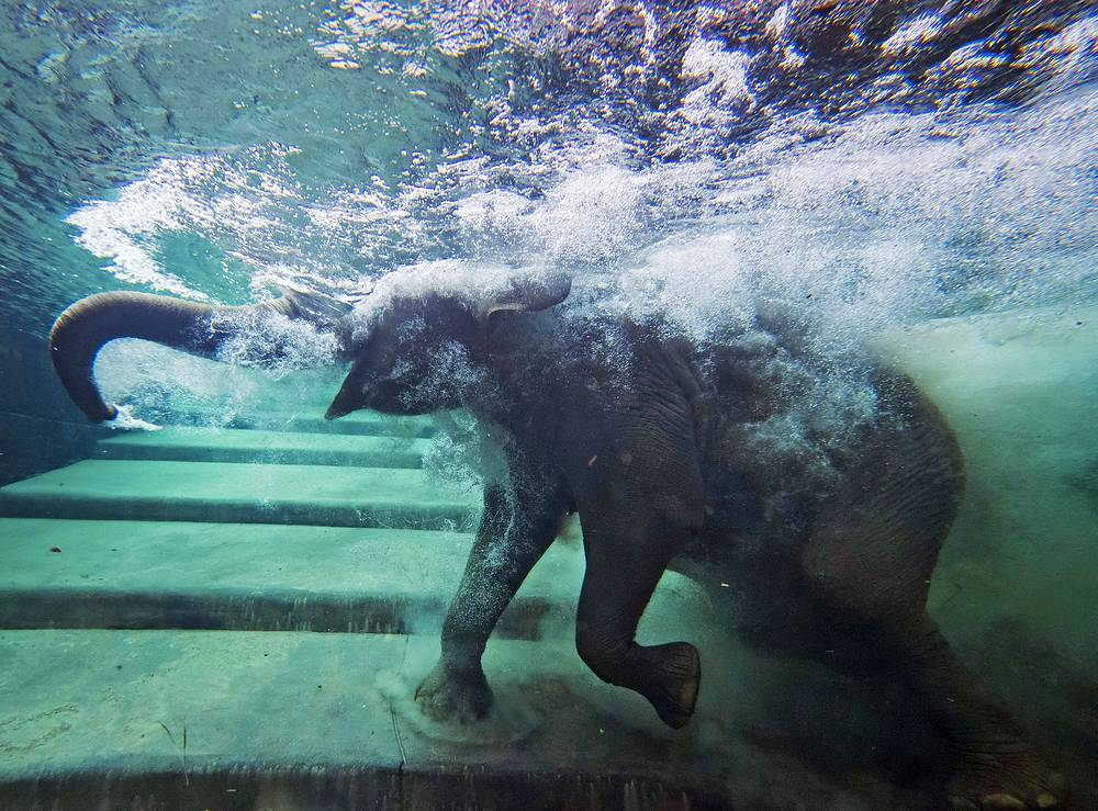 Elephants сan be found in different habitats including savannahs, forests, deserts and marshes. But they prefer to stay near water. Photo: An elephant in the indoor pool at the Zoo in Leipzig, Germany