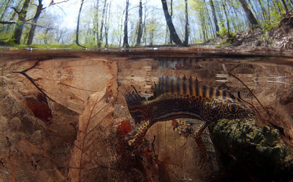 Triumph of Life, by Yegor Nikiforov. Photo: Banded newt, included in the Red Book, Krasnodar region