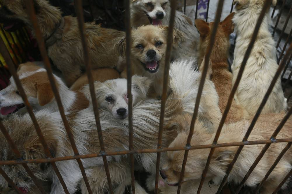 "Dogs being transported for ""dog meat festival"" at Yulin Big Market in Yulin, China. ""Dog meat festival"" in China often evoke large protests, international media coverage and thousands petitions calling to stop dogs killing"
