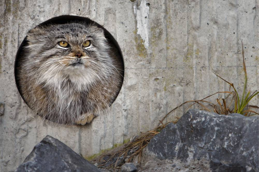 Pallas's cat, also called manul lives in the grasslands and montane steppes of Central Asia. It is negatively affected by habitat degradation, prey base decline, and hunting, and has been classified as Near Threatened by IUCN