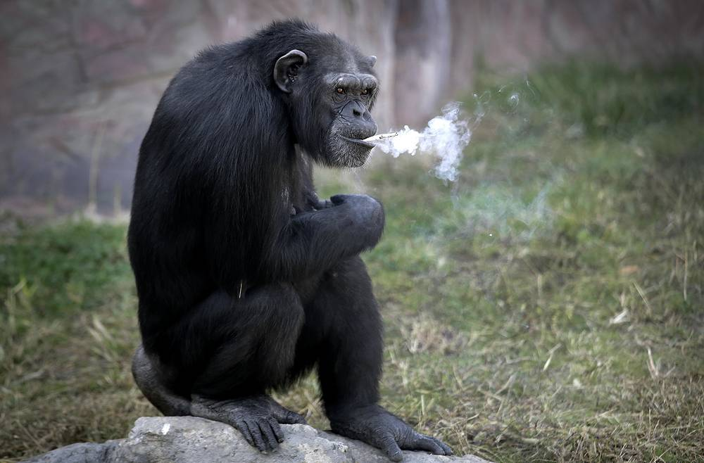 "Azalea, a 19-year-old female chimpanzee whose Korean name is ""Dallae,"" smokes a cigarette at the Central Zoo in Pyongyang, North Korea, October 19"