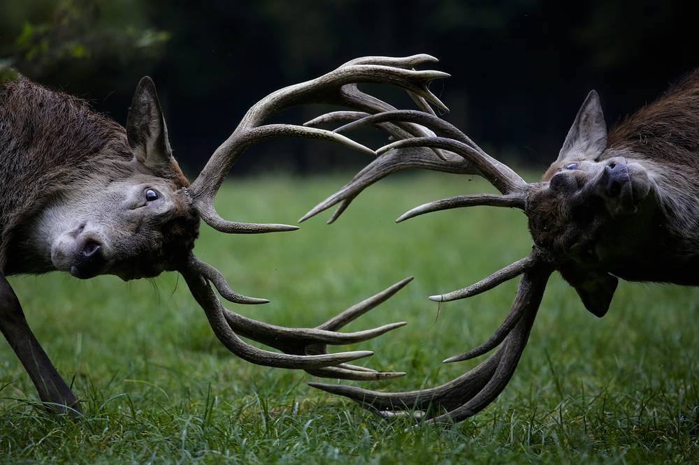 Red deer fight during the rutting season at a wildlife park in Bonn, Germany, October 27