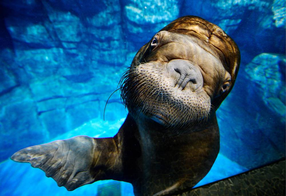 A walrus in a tank at the Primorsky Aquarium on Russky Island, Russia, December 28