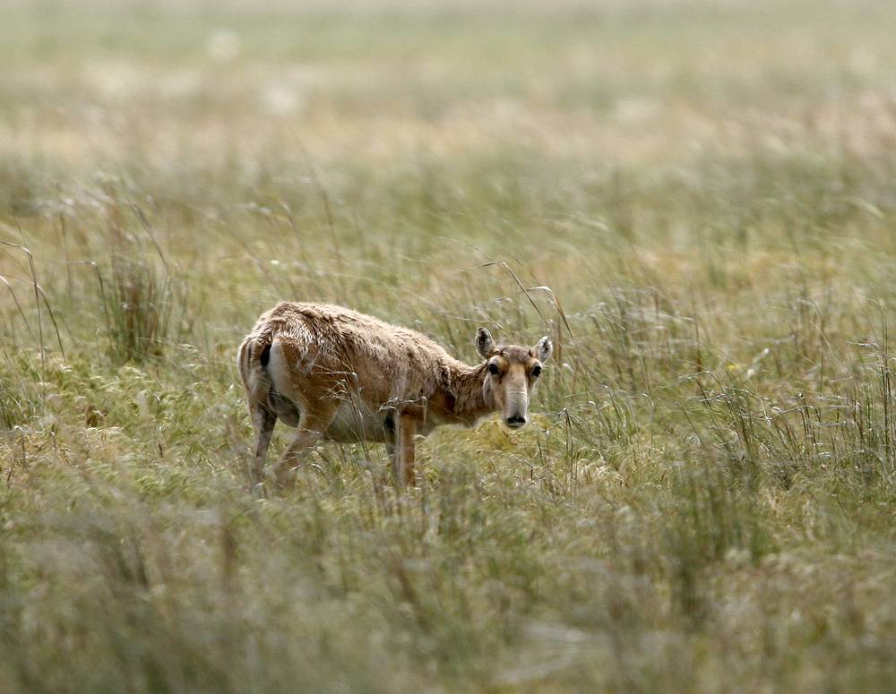 Saiga antelope in Chyornye Zemli (or 'Black Lands') Nature Reserve in Republic of Kalmykia
