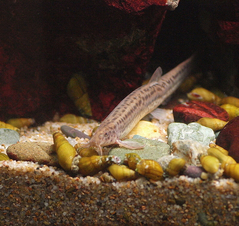 Misgurnus, commonly known as weatherfishes or weather loaches, become very active during barometric pressure changes that occur during thunderstorms
