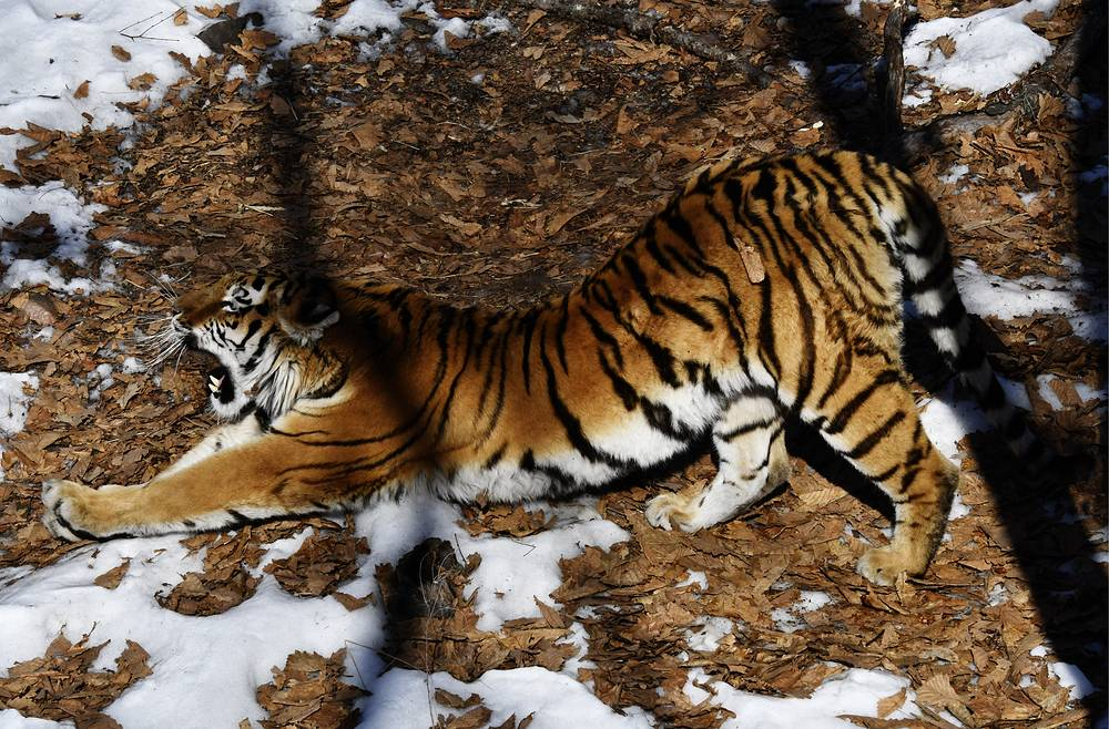 An Amur tigress called Ussuri