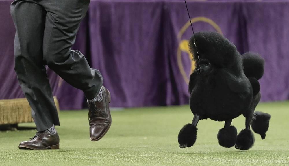 Aftin, a miniature poodle, takes a lap around the ring with her handler