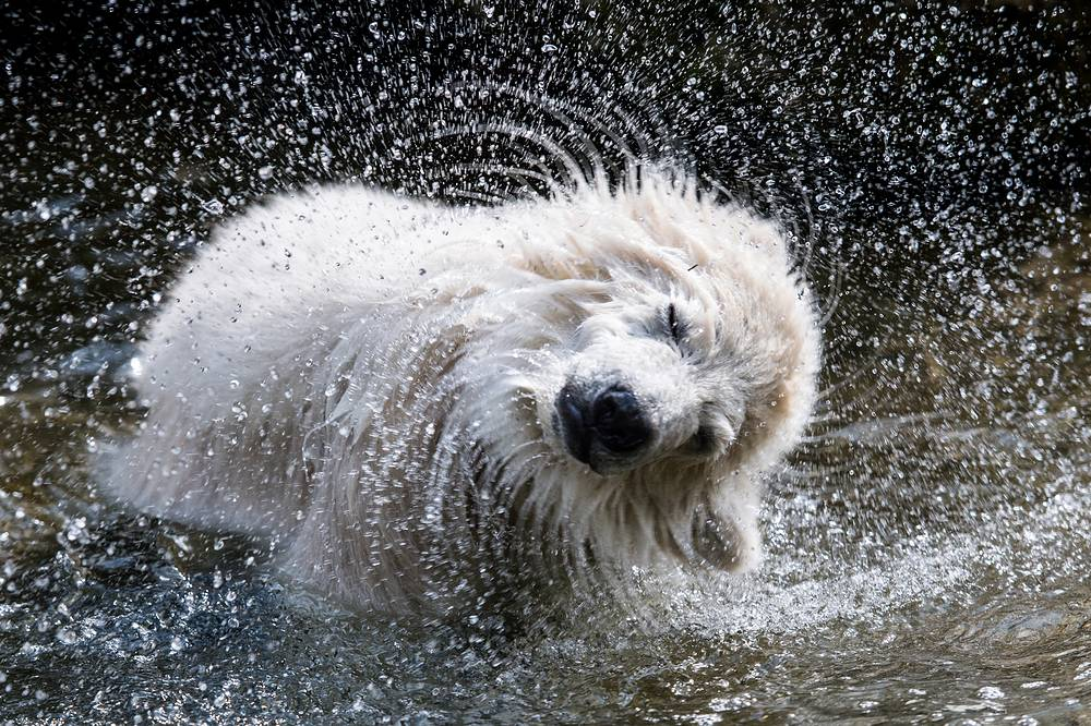 Polar bear cub Quintana explores her enclosure at the Hellabrunn Zoo in Munich, Germany,March 23