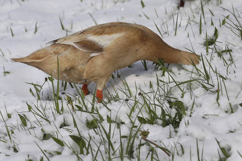 An Indian Runner duck searches for food on a snow-covered meadow in Aitrang, Germany, April 19