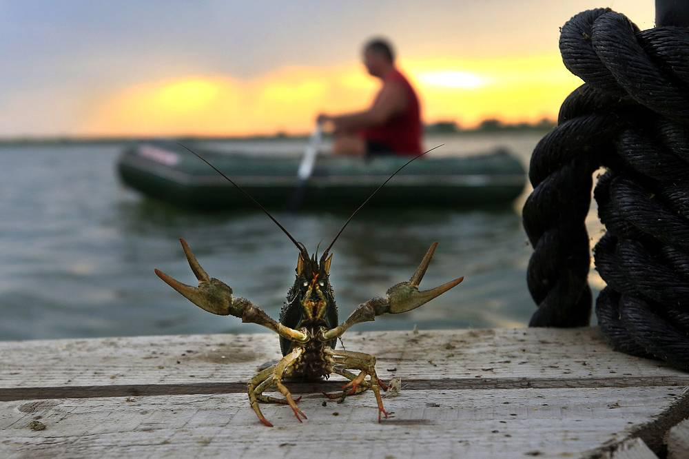 A crayfish caught in ponds of Azov-Don Sturgeon Company, Rostov-on-Don, Russia, July 17