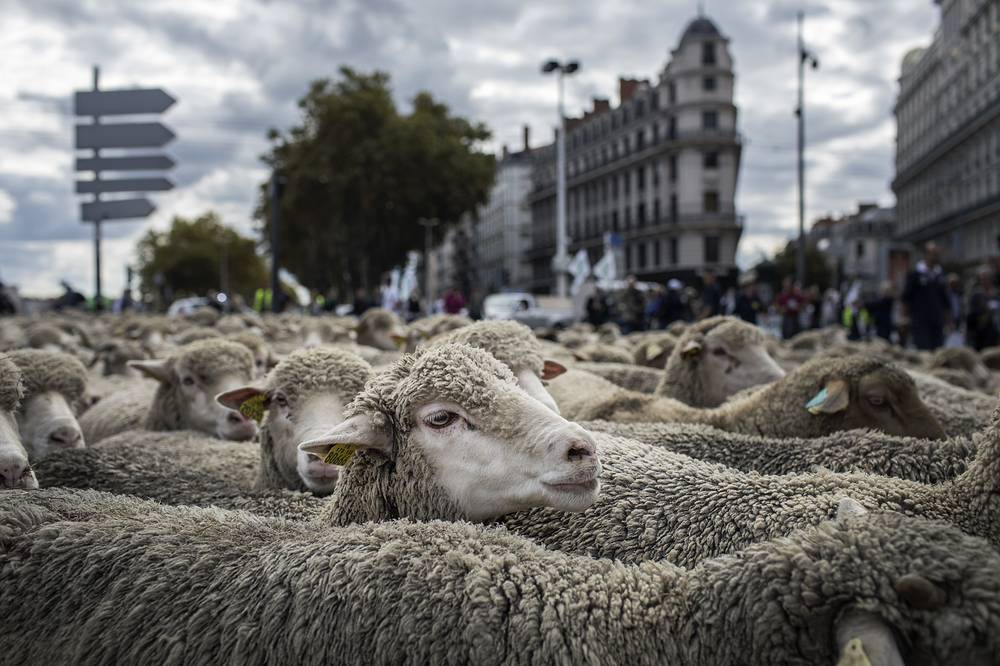 Hundreds of sheep are shepherded through the streets as French breeders demonstrate against the rising wolf attacks on sheep herds, in Lyon, France, October 9