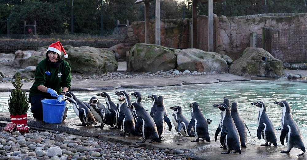 Humboldt penguins receive Christmas treats at London Zoo, Britain