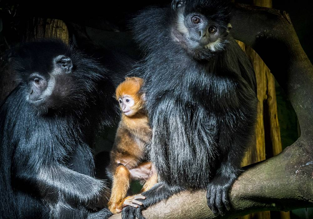 A baby Francois-langoer monkey in between his parents at the Diergaarde Blijdorp zoo in Rotterdam, the Netherlands, February 26