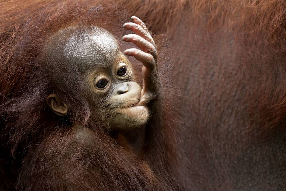 Bornean orangutan is a critically endangered species, with deforestation, palm oil plantations and hunting posing a serious threat to its continued existence. The total number of Bornean orangutans is estimated to be less than 14% of what it was in the recent past