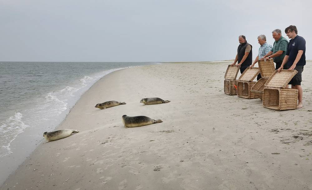 The seal station of Norddeic workers release four few months old seal pups into the North Sea on the island of Juist, August 9