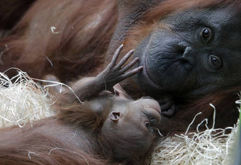 Orangutan Theodora and her newborn daughter Java are seen at the zoo of the Jardin des Plantes in Paris, October 24