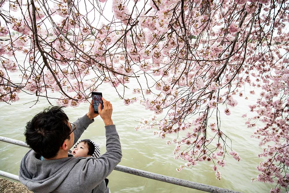 Visitors taking pictures of Yoshino cherry blossom trees in Washington, USA