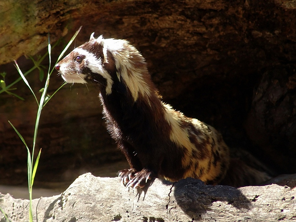 Marbled polecat is a small mammal which is generally found in the drier areas and grasslands of southeastern Europe to western China. In 2008, it was classified as a vulnerable species in the IUCN Red List due to a population reduction of at least 30% in the previous 10 years