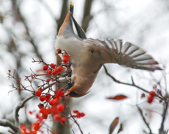 A waxwing eating rowan berries in Plyos, Russia, October 16