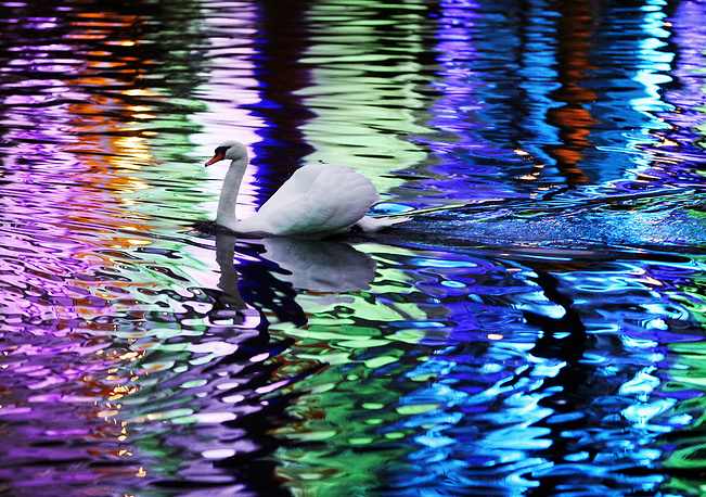 A swan swims in a small lake in the Palmengarten in Frankfurt, Germany, December 17