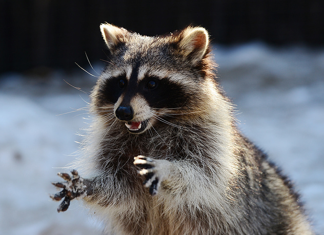 A raccoon at the Primorye Safari Park in the village of Shkotovo