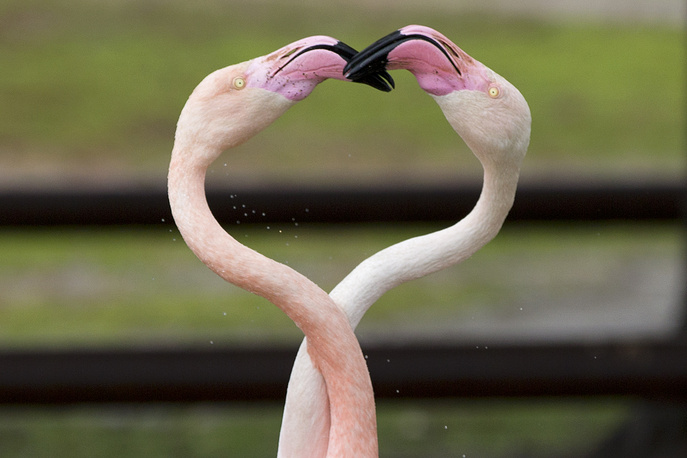 Greater flamingos are seen on Valentine's Day at the Ramat Gan Safari near Tel Aviv, Israel, February 14