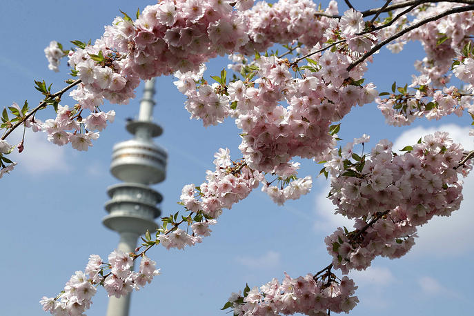 Blooming cherry blossoms hang in front of the TV tower in the Olympic park in Munich, Germany