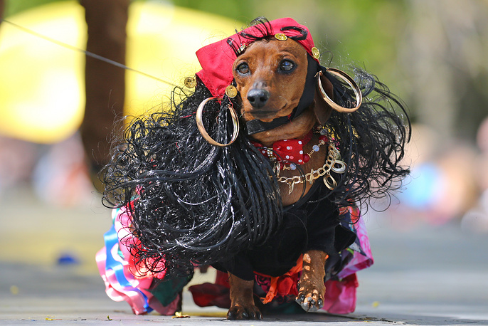 A Dachshund dog seen during the 6th Dachshund parade marking St Petersburg City Day in the garden of the Russian Academy of Arts on Vasilyevsky Island in central St Petersburg, Russia, May 27