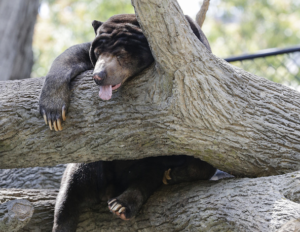 A Sun Bear, native to the tropical forests of Southeast Asia, sleeps in a tree at the Henry Doorly Zoo in Omaha, USA, July 11