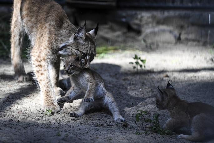 A lynx named Businka and her kittens at Novosibirsk Zoo, Russia, July 16