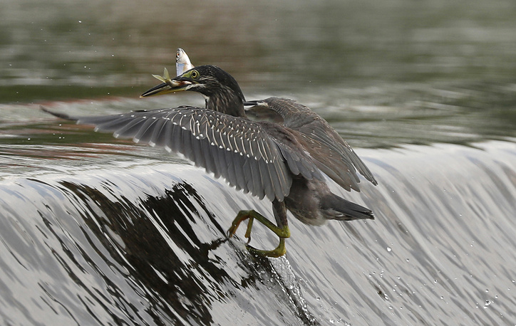 A striated heron catches a fish with its beak on the Wangsuk stream in Guri, Gyeonggi province, South Korea, August 1