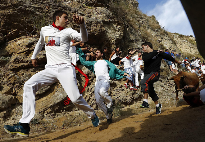 Bulls chase runners during the of Pilon bull run held in Falces, Navarra,  Spain,  August 15