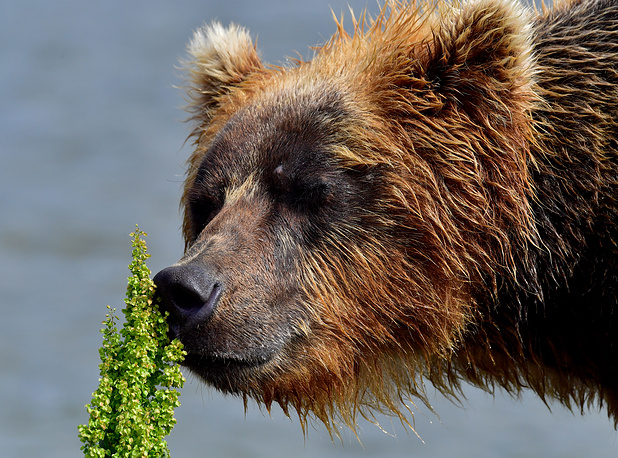 A female brown bear on Lake Kurilskoye as part of the South Kamchatka Sanctuary, Russia, August 13