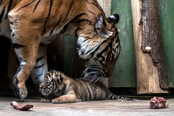 Malayan tiger mother Banya with its cub in their enclosure at the Zoo in Prague, Czech Republic, November 14