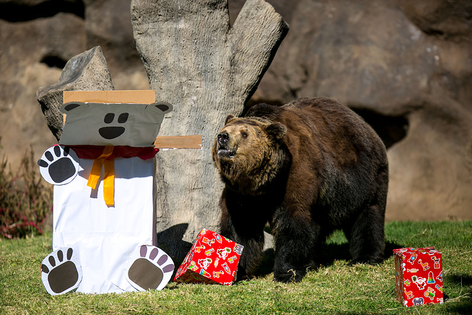'Prohor' the bear receives his Christmas gift at La Aurora zoo in Guatemala City