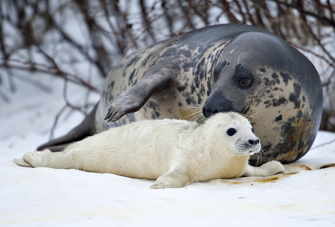 A newly born seal pup lies by his mother at the North Sea Oceannarium in Hirtshals, Denmark