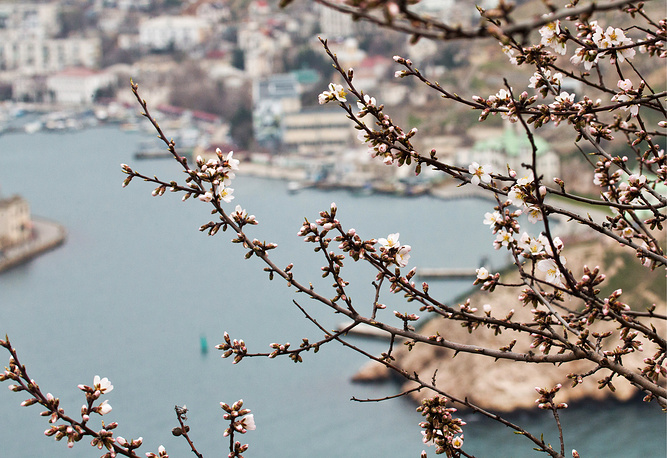 An almond tree blossoms in Balaklava, Crimea, Russia, March 11