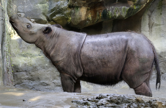 Sumatran rhinoceroses were once quite numerous throughout Southeast Asia. Fewer than 100 individuals are now estimated to remain. The species is classed as critically endangered