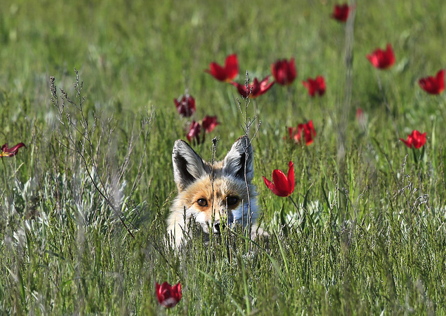 A fox in the Rostovsky nature reserve in Orlovsky District, by the shores of Lake Manych-Gudilo, April 25