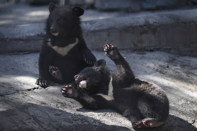 Asian black bear cubs born to a female bear called Chelsea in January 2018, in an enclosure at the Novosibirsk Zoo, May 10