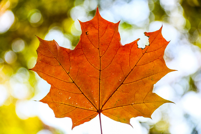 An orange maple leaf in the Kolomenskoye historical and nature reserve museum in Moscow