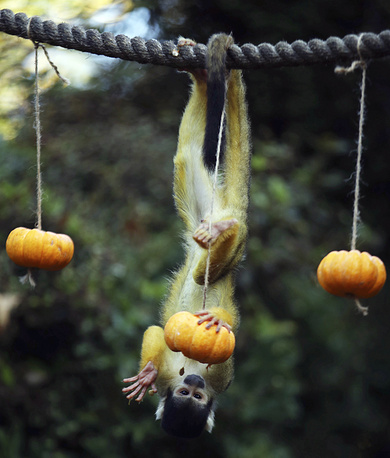 A squirrel monkey searches for a Halloween treats